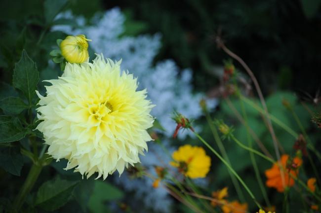 Dahlia in Evelyn's garden - East Cleveland