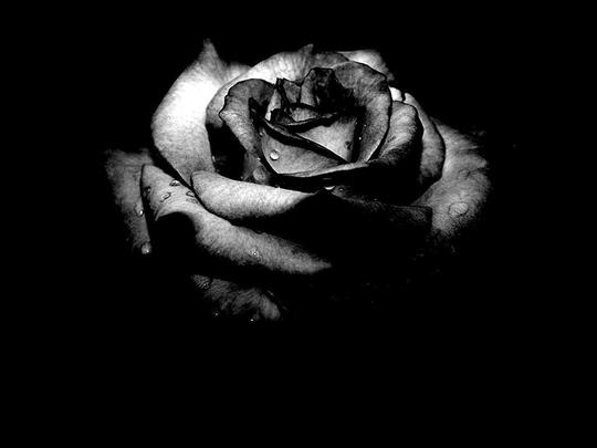 Black_Rose.jpg