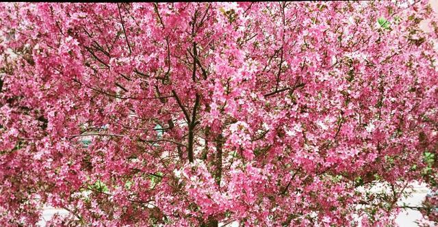 Crabapple in Bloom.jpg