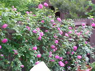 A Bourbon rose famous for its scent growing on wall, Mme. Isaac P.