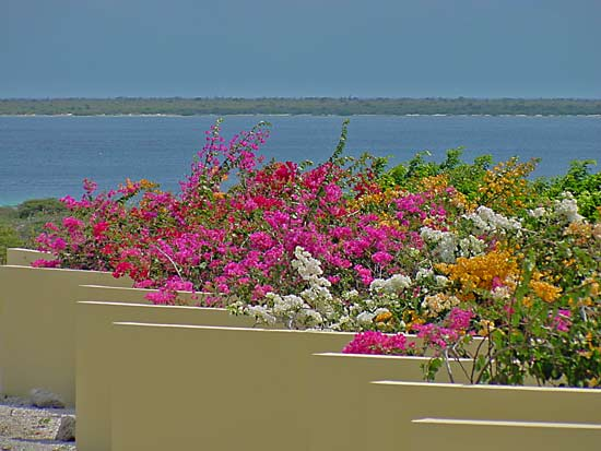 Bougainvillea in Bonaire, Dutch West Indies