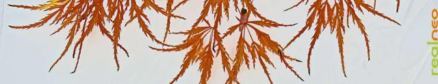 dwarf lace leaf maple autumn color