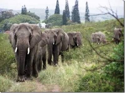 elephants_honoring_Lawrence_Anthony.jpg