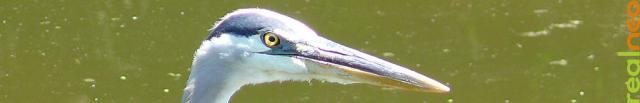 Great Blue Heron looking you in the eye