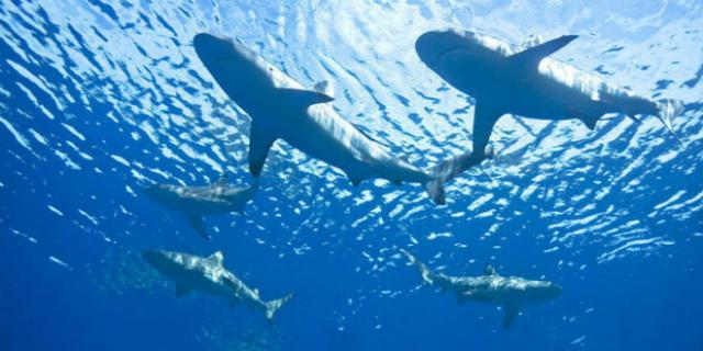great-white-sharks-animal-water.jpg