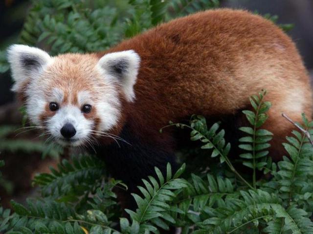 Rusty Smithsonian Zoo panda