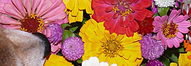 zinnia perfect Sept color
