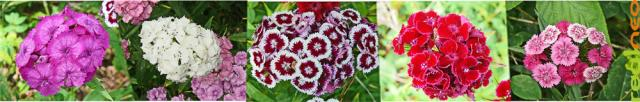 Sweet William flowers - uncultivated beauty