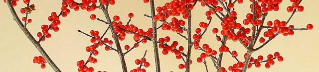Winterberry - in the holly family