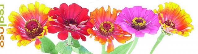 zinnia flowers banner