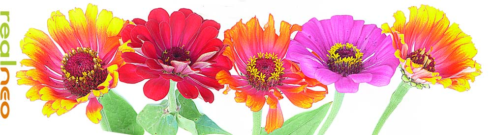 zinnia flowers taken upside down image jeff buster