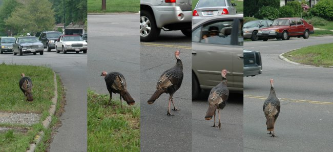 turkey at Forest Hills and Lee